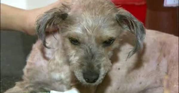 Cão é encontrado com corpo coberto de óleo diesel em Taguatinga ...