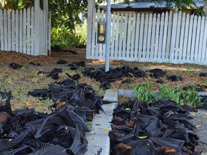 O mau cheiro toma conta da cidade de Casino, cidade no sudeste da Austrália. O pavor dos moradores, que têm medo de sair de casa é pegar vírus ou doenças dos mais de 5 mil morcegos, estimados pelas autoridades locais, que caíram das árvores e lotaram calçadas, ruas e quintais das casas. É um cenário de filme de terror dos mais macabros