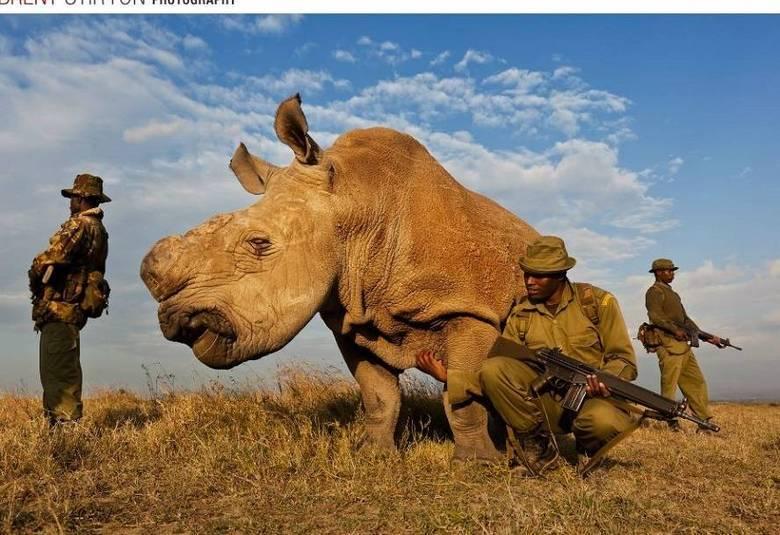 Uma verdadeira guerra está sendo travada para proteger a vida dos rinocerontes brancos da África. Apesar da espécie ser uma das mais antigas do mundo, se algo não for feito para conter o comércio ilegal de chifres, os únicos seis rinocerontes brancos do mundo desaparecerão em poucos anos.É por isso que soldados da Fundação Internacional Contra Caça Furtiva (IAPF, na sigla em inglês) estão lutando com armas contra bandidos e oferecendo cuidados específicos para os animais machucados