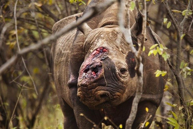 A população de rinocerontes reduziu 96% em apenas 50 anos. Os rinocerontes da origem java também já desapareceram do mapa. Além das matanças por causa dos chifres, muitas pessoas se aproveitam do animal para empalhar a cabeça ou vender em casas de leilão