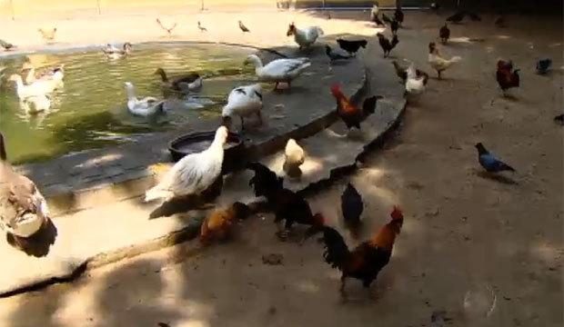 Parque da capital paulista abriga mais de 800 galos e galinhas