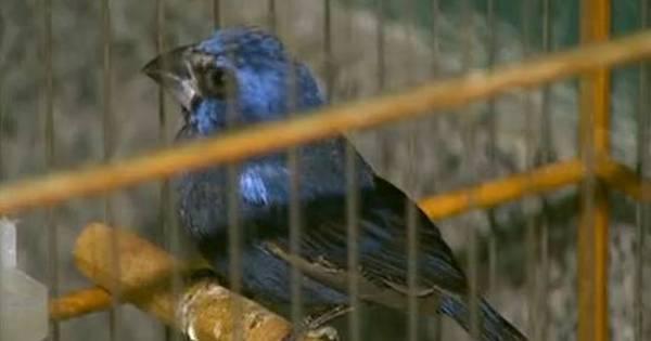 Polícia ambiental apreende cinco aves silvestres em Ceilândia ...