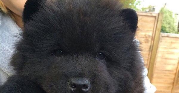 Parecem ursinhos! Filhotes de cachorro são as coisas mais fofas do ...