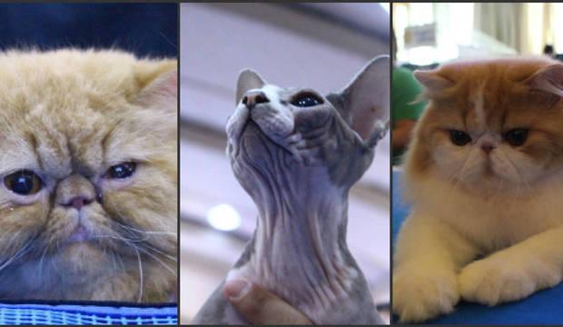 Evento reúne gatos gigantes, raros e até<br />sem pelos em São Paulo. Confira os felinos