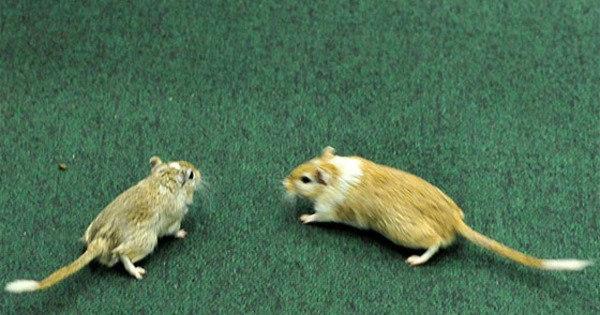 Hamster ferido em CPI será mascote de crianças superdotadas ...