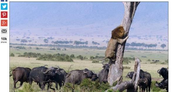Rei da selva? Leão medroso sobe na árvore para escapar de búfalos