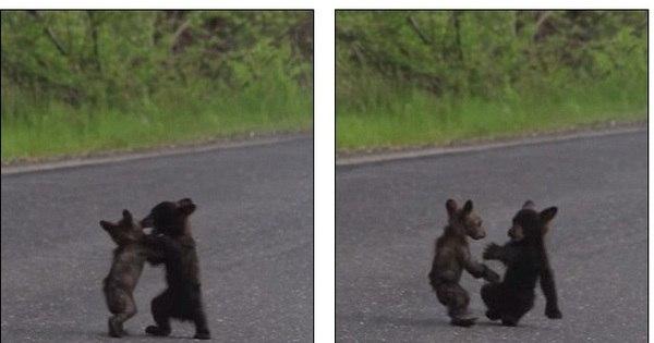 Que fofura! Bebês ursos brigam em estrada enquanto a mãe ...