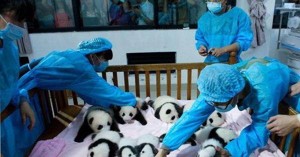 Momento fofura! Creche para filhotes de panda é a coisa mais fofa ...