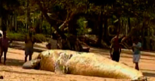 Baleia jubarte é encontrada morta com cordas de pesca presa na ...