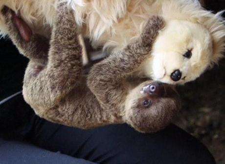 Bebê preguiça ganha 'mãe' de pelúcia após ser rejeitado