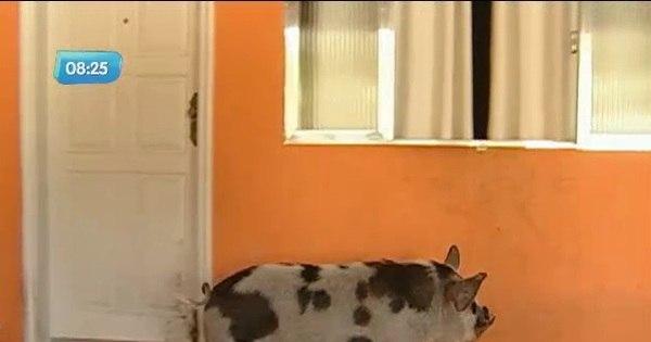 Conheça o Zezinho, o porco de estimação criado dentro de casa ...
