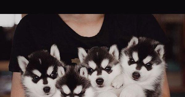 Apaixonante! Canil especializado em husky é o lugar mais fofo do ...