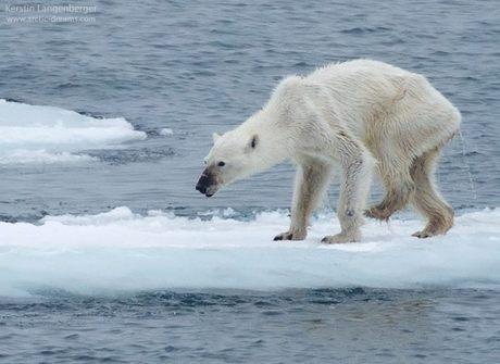 Imagem de urso desnutrido alerta para perigo do aquecimento global
