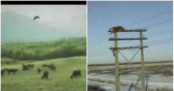 Inacreditável! Vaca é abduzida por disco voador em transmissão de ...
