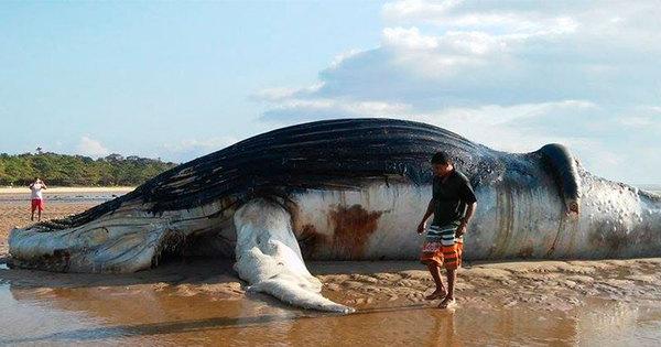 Baleia jubarte de 15 metros é achada morta em praia no interior da ...