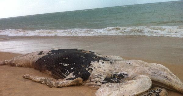 Filhote de baleia Jubarte é encontrado encalhado em praia no sul ...