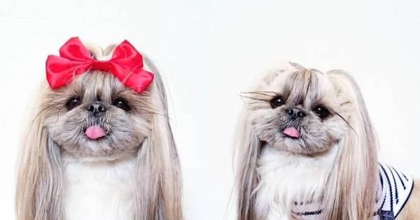 Cachorrinha japonesa humilha quando o assunto é salão de beleza ...