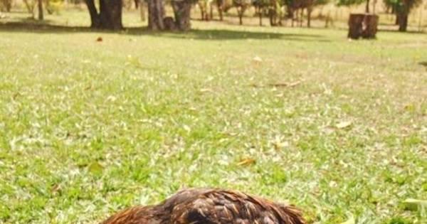 Com deficiência nas patas, galinha Anita é acolhida em abrigo e ...