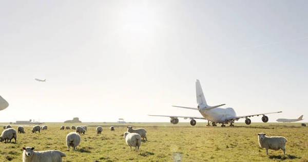 Fedeu! Gases de centenas de ovelhas obrigam avião a fazer pouso ...