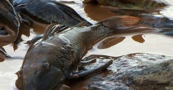 Pescadores registram agonia de peixes e fazem apelo desesperado ...