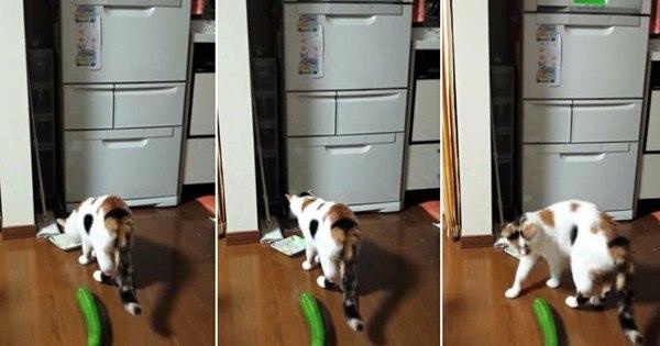 Por que gatos morrem de medo de pepinos? Confira a explicação ...
