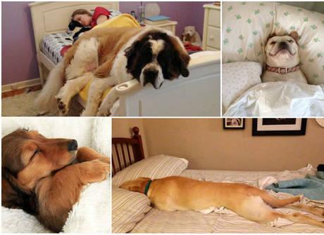É muita fofura! Cachorros folgados adoram roubar a cama dos donos
