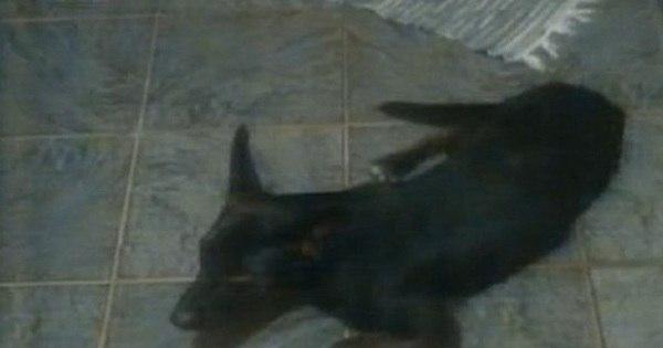 Cadela morre enforcada em coleira em canil de adestramento no ...