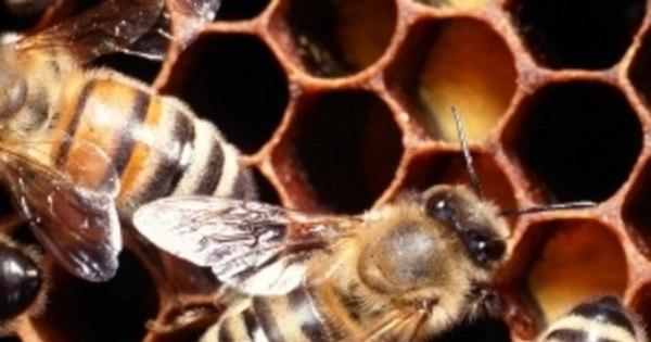 Soro para picada de abelha da Unesp deve começar a ser testado ...