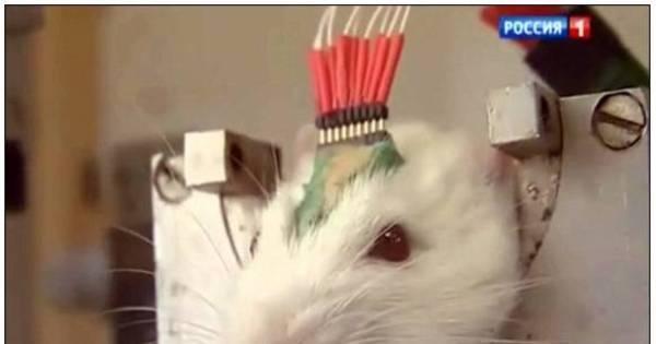 Exército de ratos farejadores é a mais nova arma de Putin contra o ...