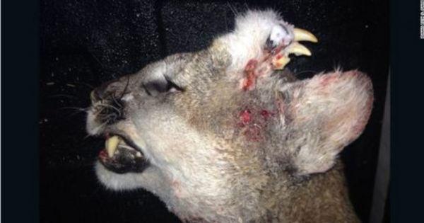 Tem dentes na testa: caçadores encontram leão da montanha ...