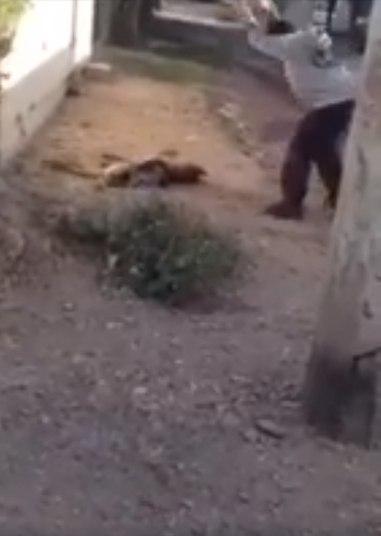 Um vídeo publicado no Facebook pela ONG de defesa dos animais mexicanaHuellita con Causa mostra imagens impressionantes de um homem matando um cachorro a pedradas e comendo os olhos do animal na cidade deCuliacán, no Estado de Sinaloa (México).ATENÇÃO: AS IMAGENS A SEGUIR SÃO FORTES
