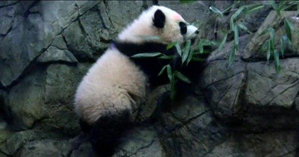 Bebê panda faz primeira aparição pública em zôo dos EUA - Mulher ...