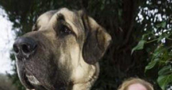 Maior cão do mundo? Mulher diz ter encontrado pet gigante ...
