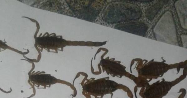 Manicure encontra 55 escorpiões em um dia no quintal de casa ...
