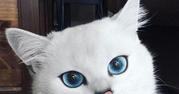 É muita fofura! Gato com olhos azuis faz sucesso e é considerado ...