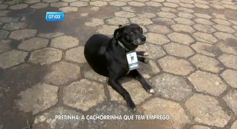 """Com pouco mais de meio metro de altura e apenas cinco anos de vida, uma cadela conseguiu um emprego disputado em Ibirité, na região central de Minas Gerais. Pretinha, como é chamada, """"trabalha"""" como segurança em uma garagem de ônibus da cidade"""