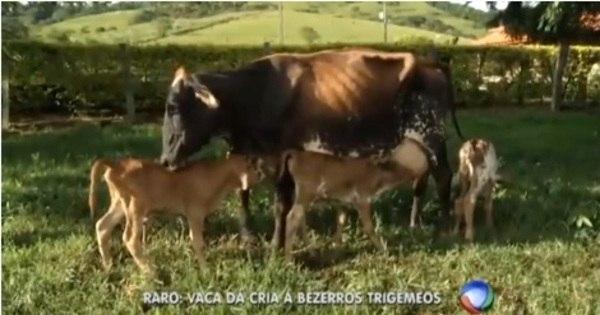 Caso raro: vaca dá luz a bezerros trigêmeos no sul de Minas - Fotos ...