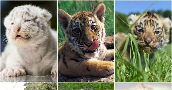 Gatinhos! Filhotes de tigres são tão fofos que você vai querer ter em ...