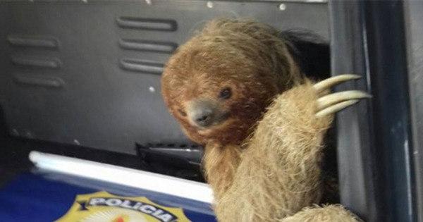 Bicho preguiça é resgatado ao tentar atravessar pista na BR-116 ...