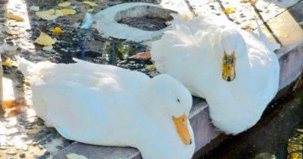 Ah, vá! Calor extremo faz patos de parque paulista derreterem ...