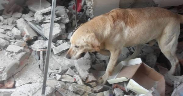 Cão herói morre poucos dias após salvar 7 pessoas dos escombros ...
