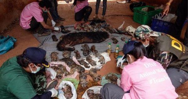 O mistério dos 40 filhotes de tigre encontrados em freezer de templo ...