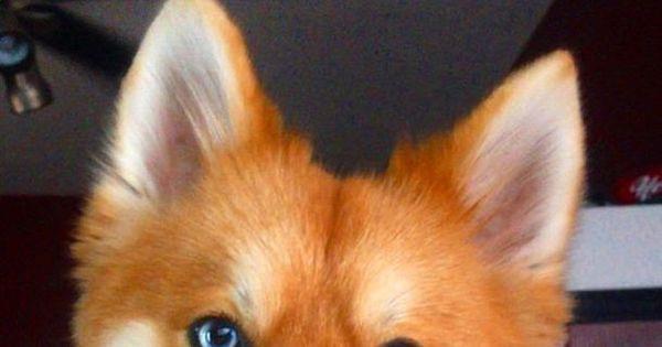 Conheça Mya: a cachorra que parece raposa e quebrou a internet ...