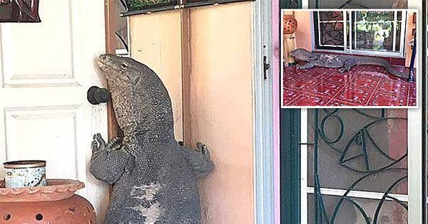 Lagarto de três metros invade casa, tenta entrar pela porta da frente ...