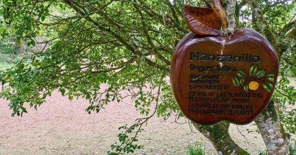 A ' árvore da morte', a mais perigosa do mundo segundo o livro dos ...