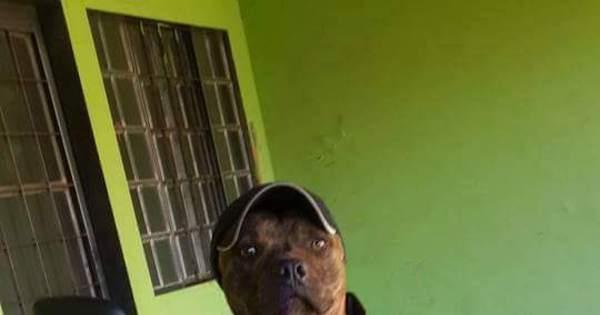 Pitbull motoboy faz sucesso na internet, mas está desaparecido em ...