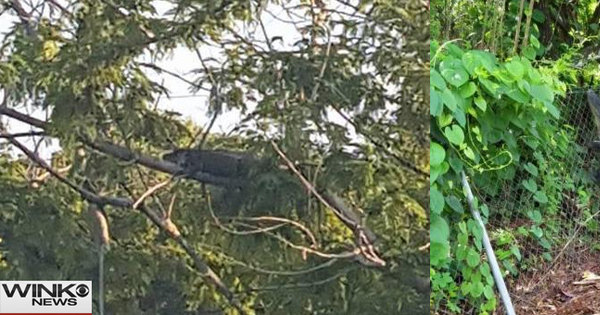 Nova regra na Flórida: agora, jacaré pode subir em árvore ...