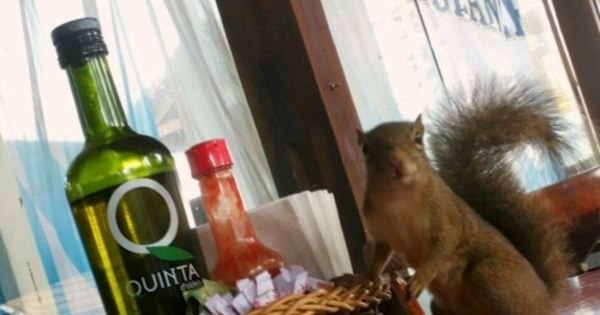 """""""Esquilo-garçom"""" vira mascote de restaurante em Monte Verde (MG ..."""