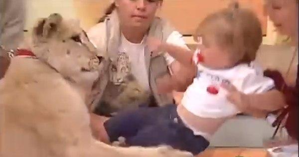 Mãe dá risada enquanto sua filha é atacada por leão durante ...