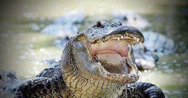 'Bocadito': crocodilo de 10 metros devora corpos de vítimas de ...